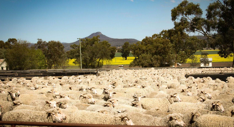 Goori sheep yard